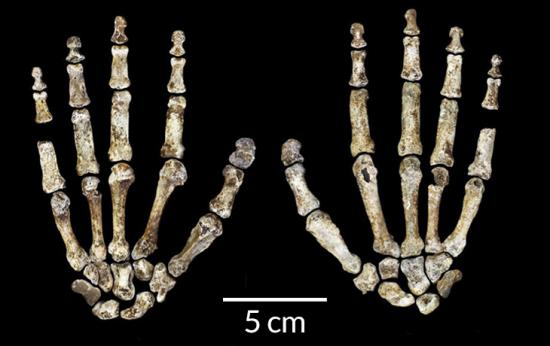 041816 bb hominid hands