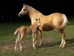 1449910008 palomino horse