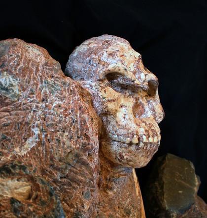 420 82085 vignette visage de stw 573 australopithecus ronald clarke