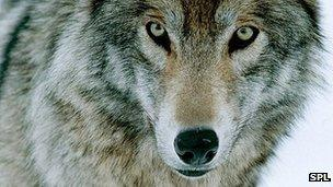 65432538-c0138432-gray-wolf-spl.jpg