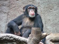 800px-schimpanse-zoo-leipig-1.jpg