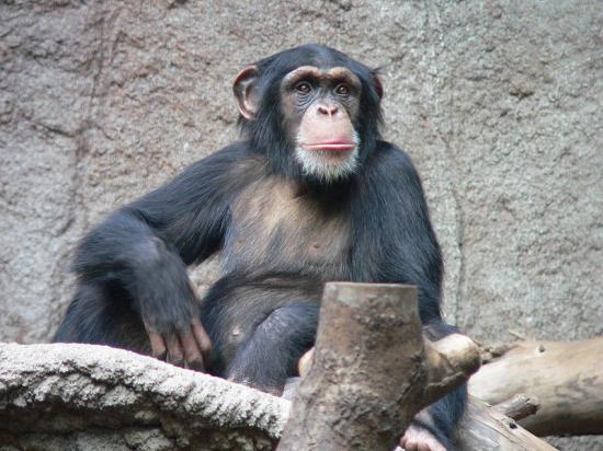 800px-schimpanse-zoo-leipig-2.jpg