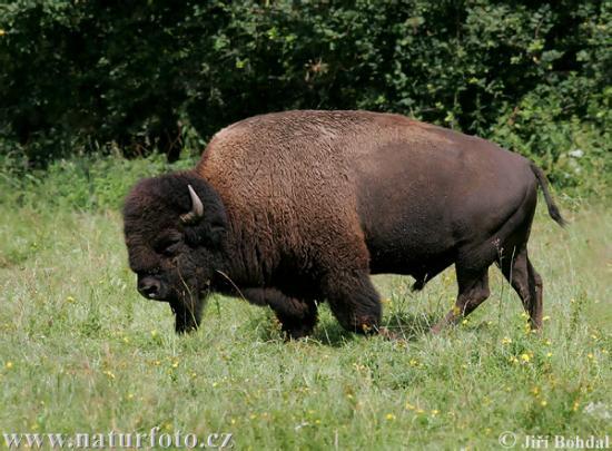 american-bison-45961.jpg
