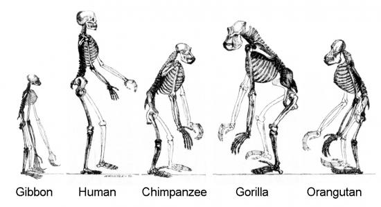 ape-skeletons.png