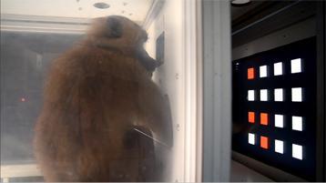 Babouin ecran tactile artifica