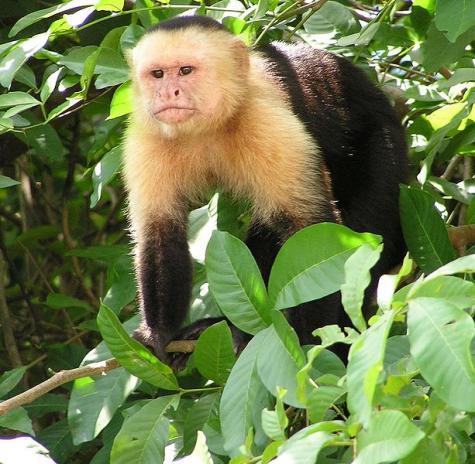 Capuchinmonk