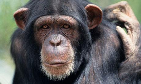 chimpanzee-006.jpg