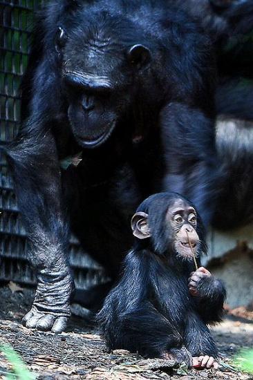 chimpanzee-2.jpg