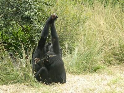 chimpanzeesc.jpg