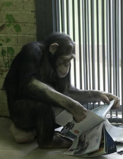 Chimps display similar personality traits as humans study