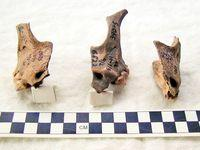 dog-skull-fragments-russia-pieces-67445-200x150.jpg