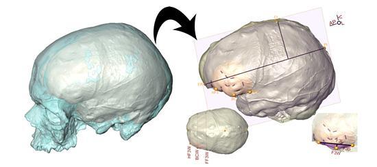 Etude aire de broca hominides