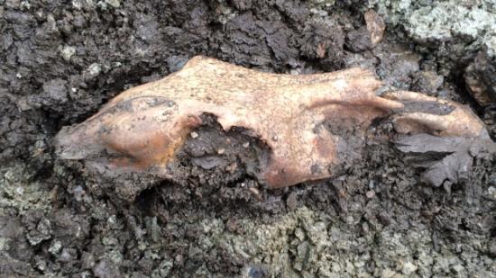 Fossil horse skull 1
