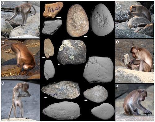 Macaca fascicularis aurea stone tools journal pone 0072872 g002