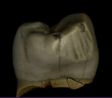 Neanderthal premolar