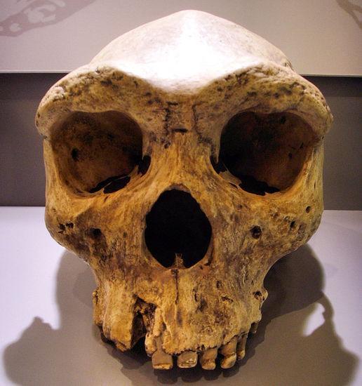 picresized-1355107420-961px-broken-hill-skull-replica01.jpg