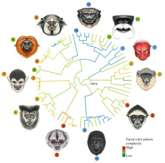 primates-facial-evolution-12112.jpg