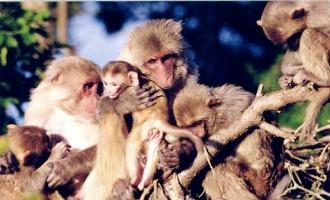 rhesus-macaque-small.jpg