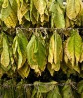 tobacco-plant.jpg